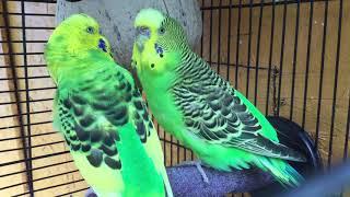 Male Budgie/Parakeet Courting Female(Kubla Kraus And Kale)(Волнистых попугаев)