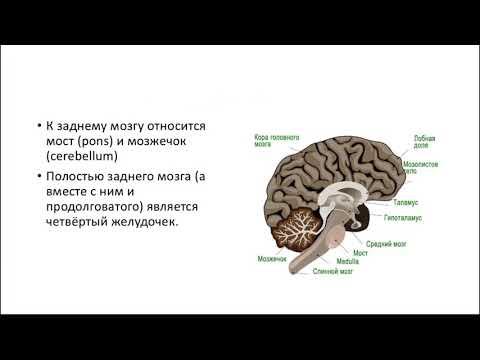Задний мозг видеоурок