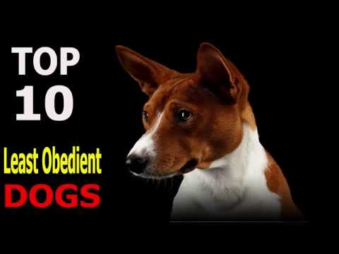 Top 10 Least Obedient Dog Breeds | Top 10 animals