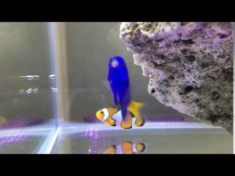 小丑魚與黃尾藍雀鯛