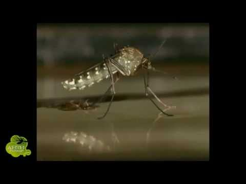 Как размножаются комары видео