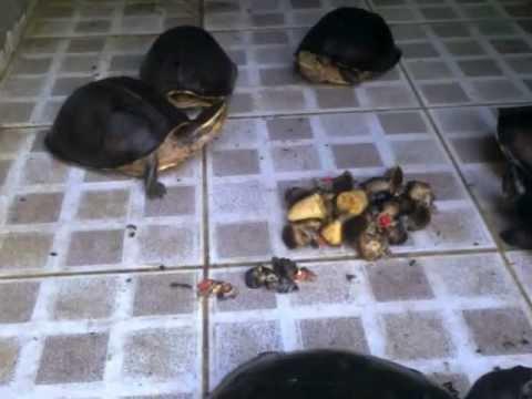 Rùa quạ và rùa hộp lưng đen