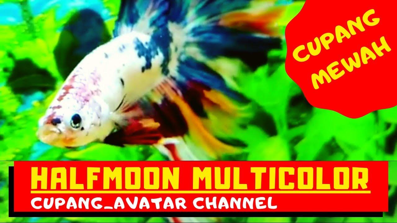 Ikan Cupang Multicolor