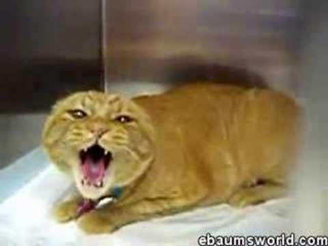 Cat Screeching Gif