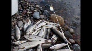 Хариус Енисея.Рыбалка в Хакасии