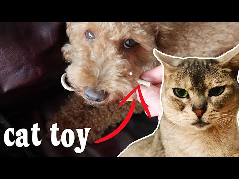 Abyssinian cats get new CAT TOYS and dog steals them all | CUTE CAT CLEO