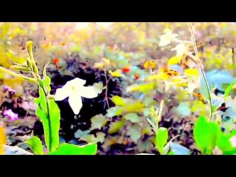 EMMYLOU HARRIS WILDWOOD FLOWER