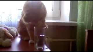 Кошка научилась пить воду одной лапой