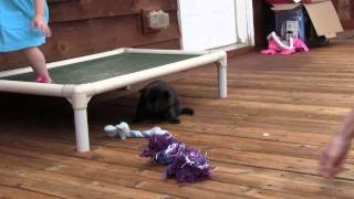 This is a video of Kai Ken (甲斐犬) female puppy 5, from Kumi's thi...