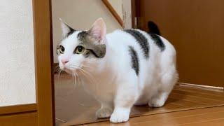 ビックリしすぎて「今の何っ?」ってキョドる猫が超かわいい  【#Shorts 】