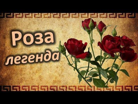 РОЗА – легенды и  мифы. Интересные истории о прекрасной розе.