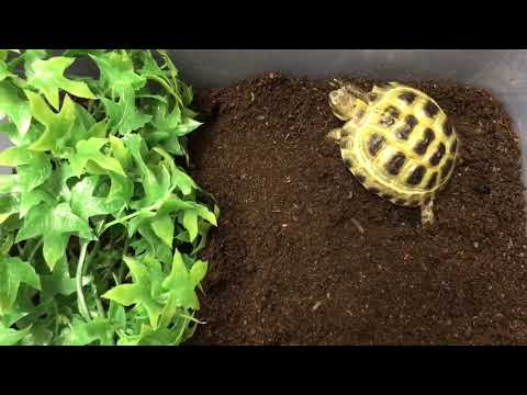 Small Tortoise For Sale Baby Tiny Tortoise For Sale Small Pet Tortoises For Sale