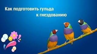 Разведение  гульда . Как подготовить птицу к гнездованию ?