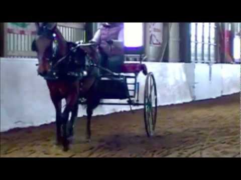 Morgan horse carriage driving lesson