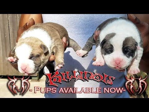 LIVE WITH AMERICAN BULLY PUPPIES FOR SALE FROM THE WORLD FAMOUS KILLINOIS KENNELS