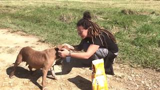 Rescuer removes heavy chain from pit bull in Puerto Rico