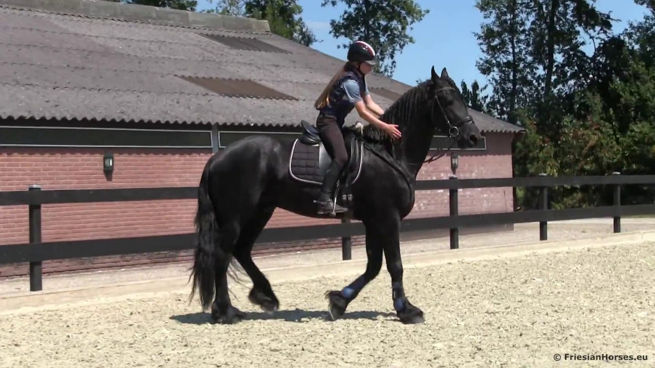 A BIG Friesian stallion for Sale (SOLD)
