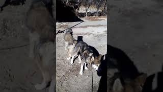 Волк и хаски, щенки будут волкособи