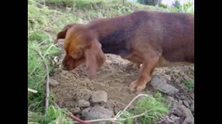 собака роет ямы в земле