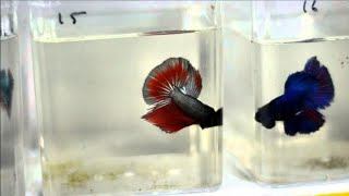 Thailand Betta fishes for sale    Shipping possible