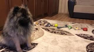 НЕМЕЦКИЙ ШПИЦ| Дрессировка Тедди