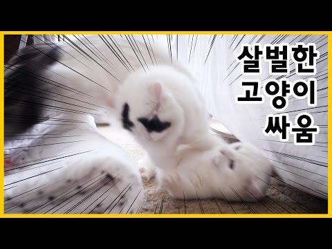 살벌한 고양이 싸움 - 꼬부기가 서열이 위인 이유