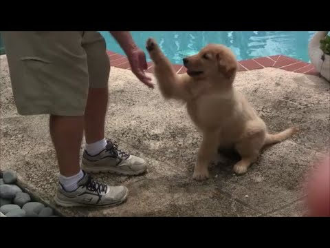 Early Puppy Trainig is critical with Positive Methods if....    ( Clicker Training )