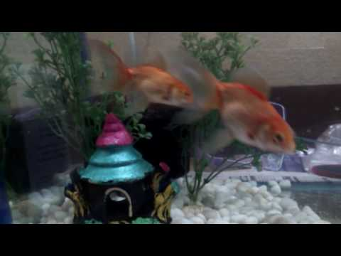 Gold Fish Laying Eggs Part 1