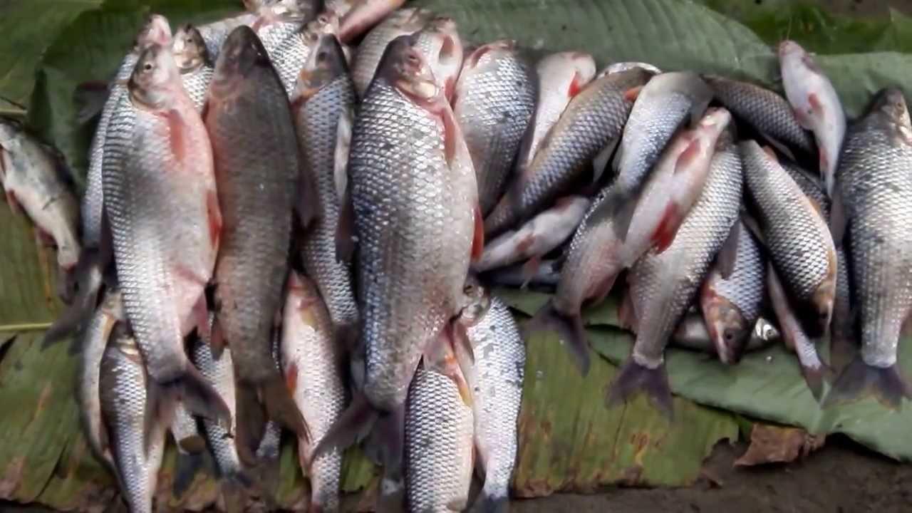 Pesca rio bocachico gigante colombia youtube for Criaderos de pescados colombia