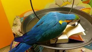 Попугай ара достает картинку из книжки