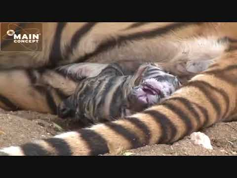 Thumbnail: Tiger Birth at Tiger Canyons. Save the tiger, help the tiger. Share our post.