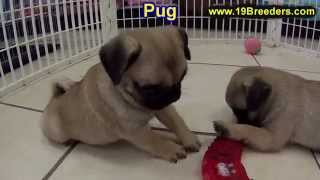 Pug, Puppies, For, Sale, In, Springfield, Missouri, Mo, St  Charles, St  Joseph, O'fallon, Lee's Sum