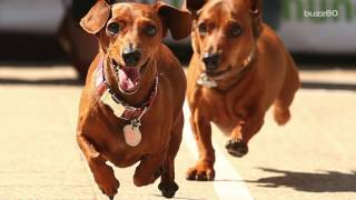 Watching These Wiener Dogs Race Will Make Your Day