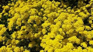Алиссум скальный желтый ковер)