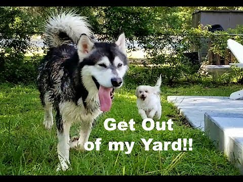 Small Dog Chases Giant Malamute Around Pool When Malamute Slips!!!