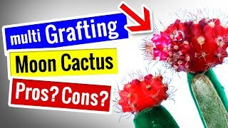 Moon Cactus - Multi Grafting PROS and CONS | Grafted on Opuntia - Prickly Pear or Bunny Ear Family