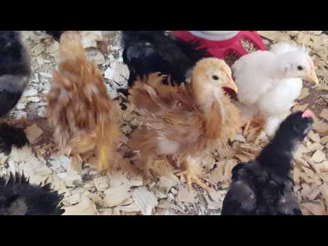 Frizzle Cochin chickens at 4 weeks old
