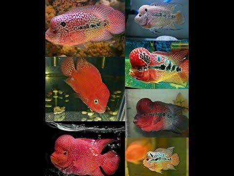 10 Jenis Ikan Louhan Dan Harganya