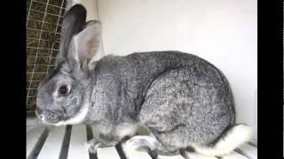 Советская шиншилла порода кроликов(, 2015-04-10T20:35:44.000Z)
