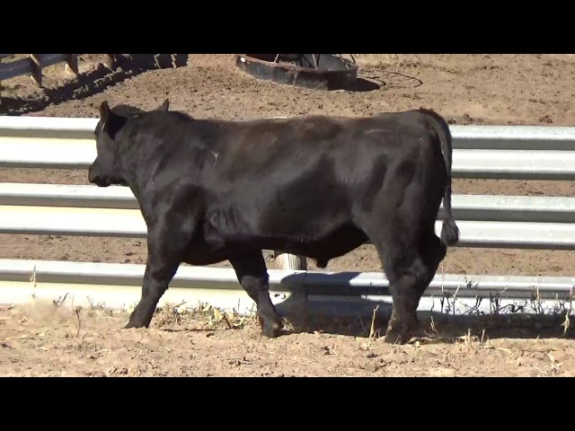 Connealy Angus Lot 117