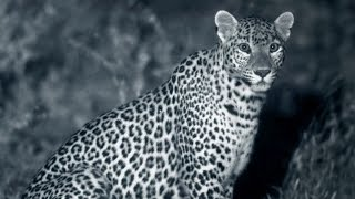 Leopards & Humans: Ancient Balanced Relationship - Leopards: An Unnatural History - BBC