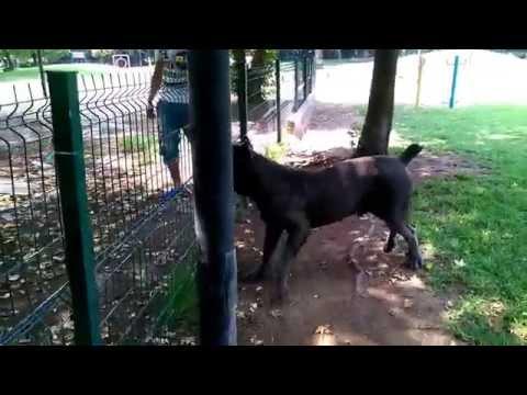 pitbull vs cane corso (zeus)