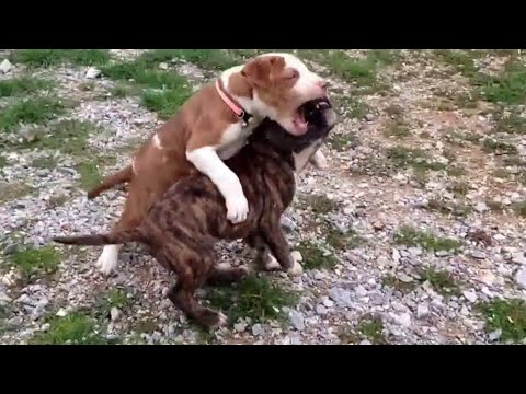 Pitbull Puppies Fight