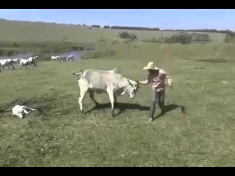 Peão mostra como proceder quando se tem uma vaca nelore parida