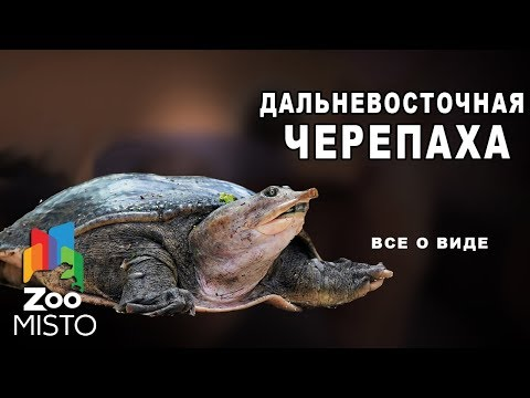 Дальневосточная черепаха Все о виде пресмыкающихся | Вид пресмыкающихся Дальневосточная черепаха