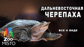 Дальневосточная черепаха - Все о виде пресмыкающихся | Вид пресмыкающихся - Дальневосточная черепаха