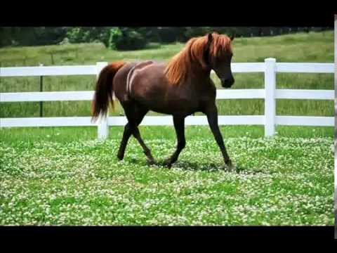 Gaited Morgan Horse Mare 2012 Missouris Dandy Darlin