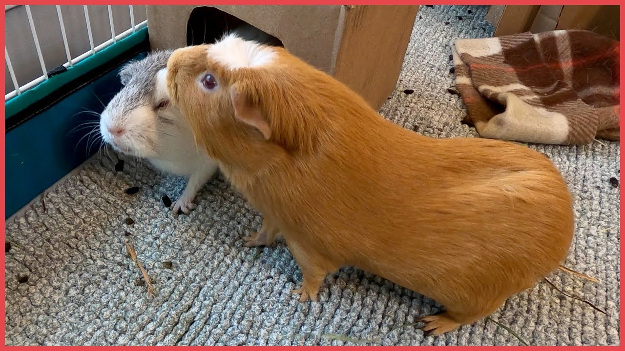 Guinea pig variety show