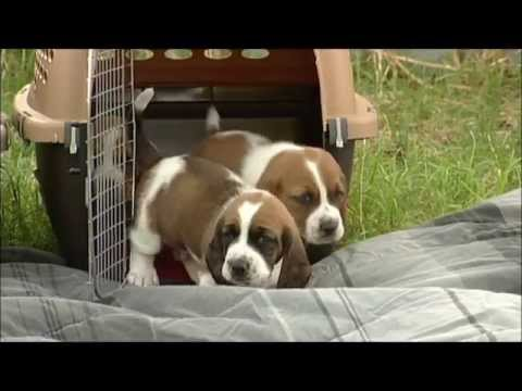 First Time Outdoors! 26 Day Old Basset Hound Puppies