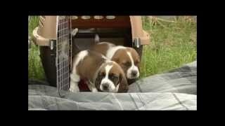 First Time Outdoors! 26 Day Old Basset Hound Puppies thumbnail